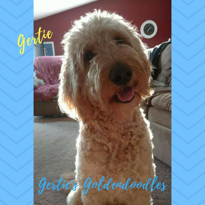 Gertie's Goldendoodles (3)